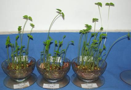 红豆生长过程简笔画
